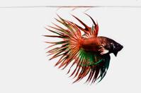 Siamese fighting fish , Betta fish