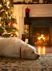 Dog sleeping by the Christmas tree