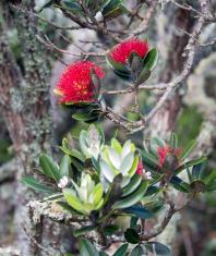 Flowering Pohutakawa New Zealand
