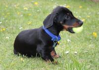 Miniature Smooth Haired Dachshund Puppy
