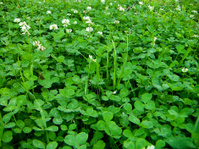 Carpet from a clover