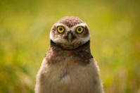 lechuza con ojos amarillos grandes