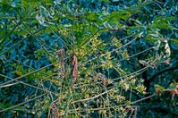Flowers of Green Papayas on tree, Carica papaya