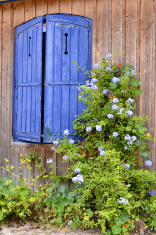 Blue shutters and flowers