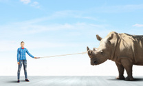 Rhino on lead