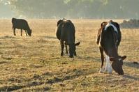 Three Cattle Grazing