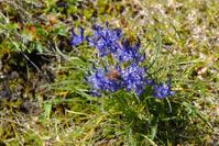 Alp flower