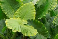 Normes feuilles de plante tropicale de for t tropicale for Plante tropicale exterieur