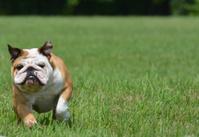 english bulldog outside