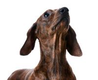 miniature smooth dachshund portrait