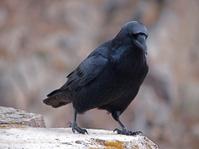 Jet Black Raven