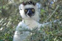 Verreaux's Sifaka Lemur (Propithecus verreauxi)
