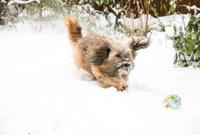 Tibetan Terrier Dog Catching Ball in Snow