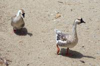 Gray geese walking along the seashore.