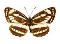 Pallas Sailer butterfly