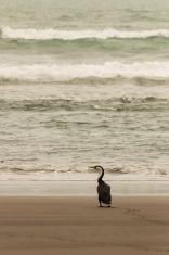 cormorant walking on sandy beach