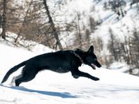 Black German Shepherd running in the snow