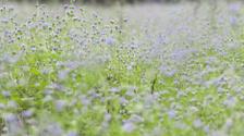purple flowers on green grass background. Focus on nearest flowe