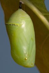 Monarch Chrysalis (Cocoon)