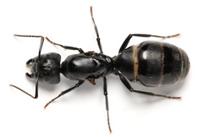 Ant Queen Ants C.vagus