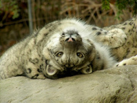 Snow Leopard Staring