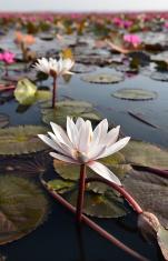 white lotus in pink lotus sea, Thailand