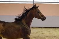 galloping arabian horse - stallion portrait
