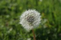 Beautiful White Dandelion
