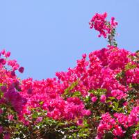 Spain street Marbella flowers bougainvillea
