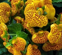 Calceolaria yellow Lady's Purse