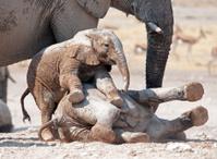 Young elephants playing