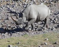 White Rhinoceroses