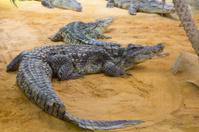 group of dangerous Nile crocodiles resting (Crocodylus niloticus