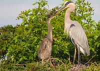 Great Blue Heron Pair in Mating Ritual