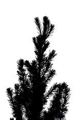 Pine Tree branch silhouette XXXL