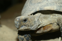 Spur-thighed mediterranean tortoise