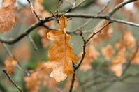 autumn foliage: Oak leaf