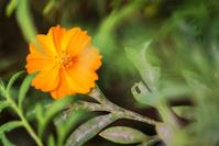 Calendula officinalis blossoms