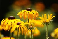 Black Eyed Susan flower. Dayton, Ohio.