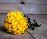Flowers. Beautiful yellow chrysanthemum in vintage pottery vase.