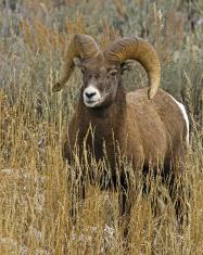 Big Horn Ram Full Body