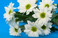 White Chrysanthemum
