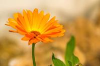 Calendula, medicinal plant