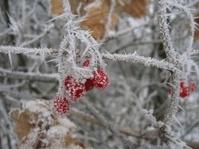 frozen rowan fruits