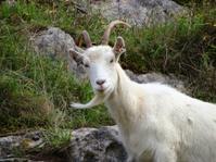 Image of wild, white mountain goat climbing on rocks, cliff-face