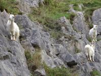 Three wild, white mountain goats climbing on steep rocks, cliff-