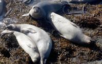 Elephant Seals, California Coast