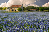 Abandoned Stone Farmhouse in Field Bluebonnet Flowers