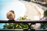 Turtledove on fence