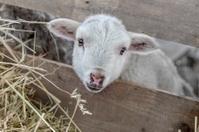 Beautiful curious not shorn sheep with lamb